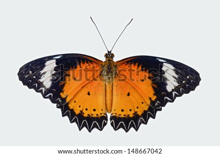 Leopard Lacewing butterfly isolated on white background.