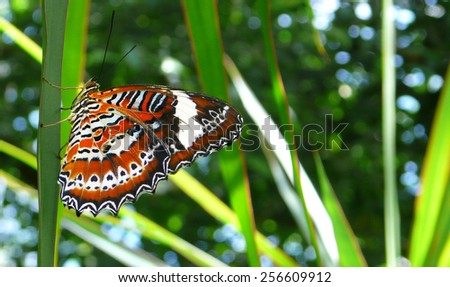 Leopard Lacewings butterfly  - stock photo
