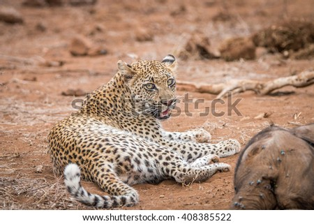 Leopard laying next to a baby Elephant carcass in the Kruger National Park, South Africa. - stock photo