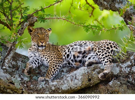 Leopard lies on a tree. National Park. Kenya. Tanzania. Maasai Mara. Serengeti. An excellent illustration. - stock photo