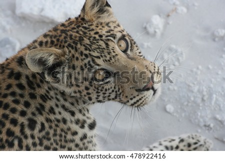 Leopard looking at you from close up