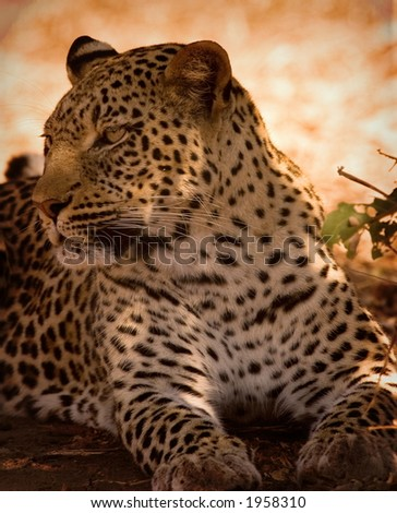 Leopard looking away - stock photo