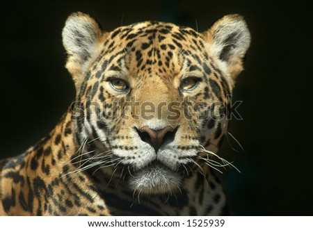 Leopard looking straight at the camera - stock photo