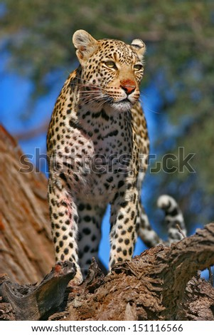 Leopard lookout in tree - stock photo