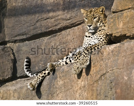 Leopard lying in the hollow of a stone wall