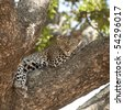 leopard lying on a tree - stock photo