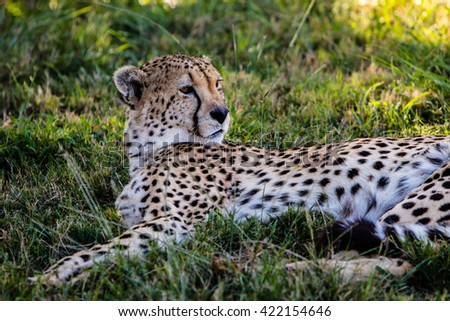 Leopard lying on the grass, South Africa-Kruger park