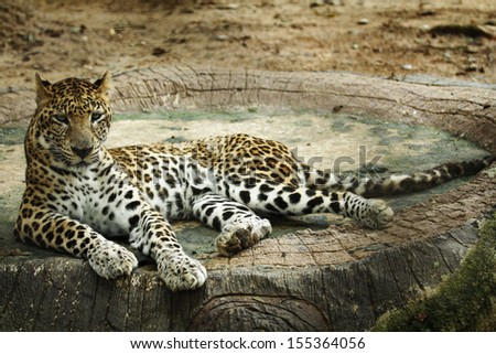 Leopard on rock stock photos illustrations and vector art