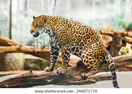Leopard lying on tree branches, - stock photo