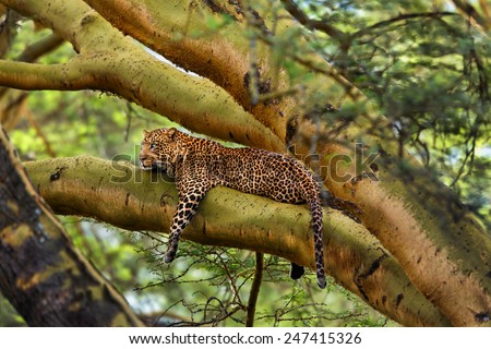 Leopard male sitting on a branch in a big tree in Nakuru National Park, Kenya - stock photo