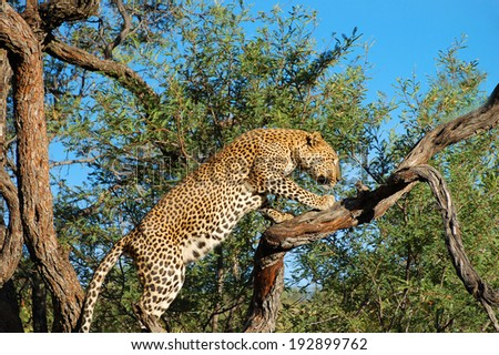 Leopard on a Branch - Namibia - stock photo