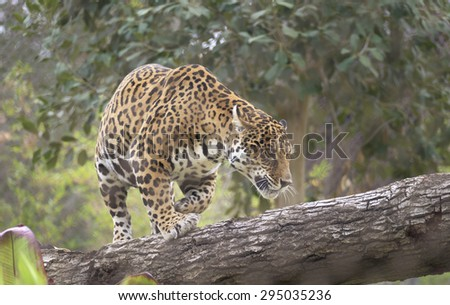 Leopard on a downed tree - stock photo