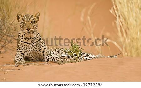 Leopard on dune - stock photo