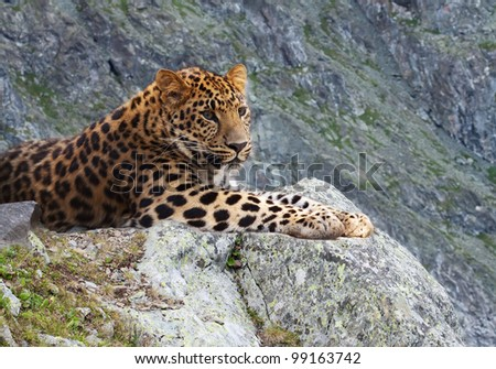 leopard on rock against wildness area - stock photo