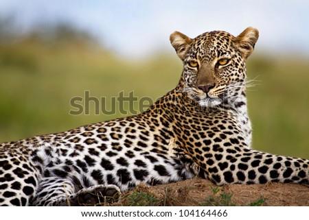 Leopard on termite mound, Mother: Olive, Masai Mara, Kenya - stock photo