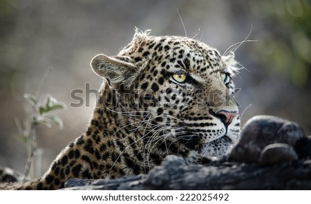 Leopard on the hunt - stock photo