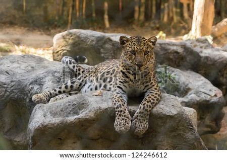 Leopard on the Rock. Chiang Mai Zoo in Thailand