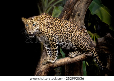 Leopard on the tree. - stock photo