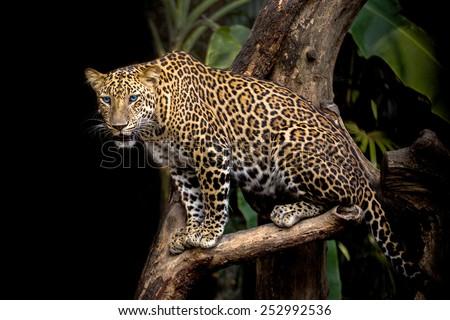 Leopard on the tree. - stock photo