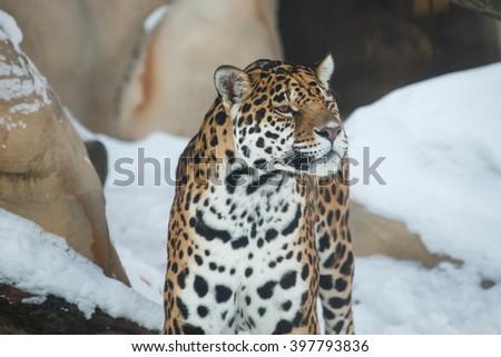 leopard or Panthera pardus closeup winter portrait  - stock photo