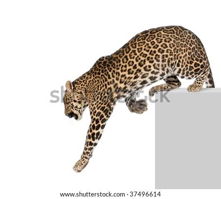 Leopard, Panthera pardus, climbing off pedestal against white background, studio shot - stock photo