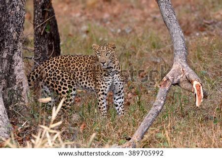 Leopard (Panthera pardus) looking at camera, Tadoba, Chandrapur, Maharashtra, India - stock photo