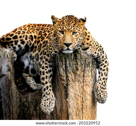 Leopard, Panthera pardus, on white background - stock photo