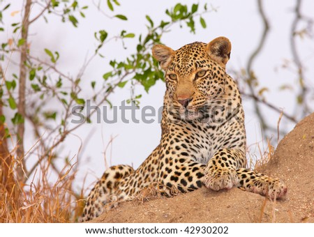 Leopard (Panthera pardus) resting in savannah in nature reserve in South Africa
