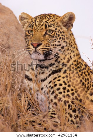 Leopard (Panthera pardus) resting in savannah in nature reserve in South Africa - stock photo
