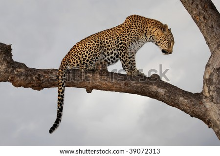 Leopard (Panthera pardus) sitting in a tree against a cloudy sky, South Africa - stock photo