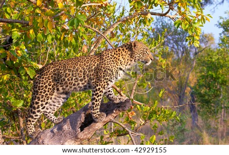 Leopard (Panthera pardus) standing alert on the tree in nature reserve in South Africa - stock photo