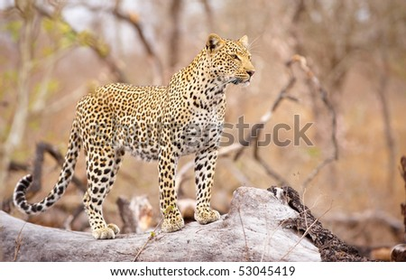 Leopard (Panthera pardus) standing alert on the tree in nature reserve in South Africa