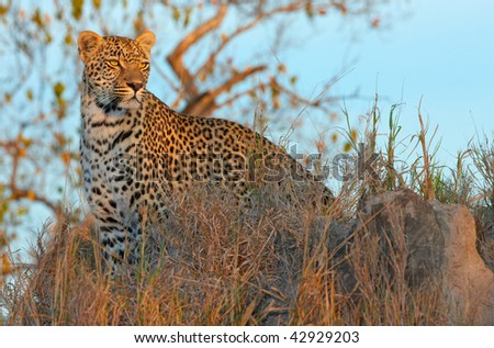 Leopard (Panthera pardus) standing in savannah at sunset in nature reserve in South Africa - stock photo