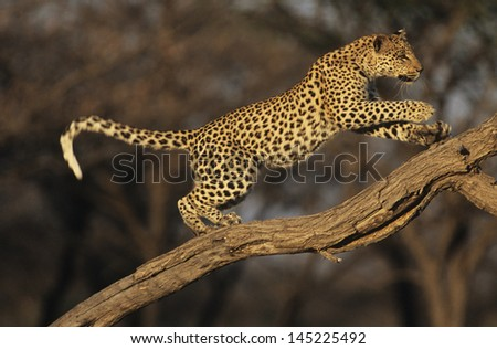 Leopard (Panthera Pardus) standing on branch - stock photo