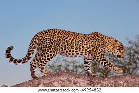 Leopard (Panthera pardus) walking on the tree in the evening light in nature reserve in South Africa