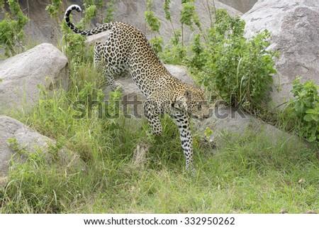 Leopard (Panthera pardus) walking over rock and between grass, close by, Serengeti national park, Tanzania. - stock photo