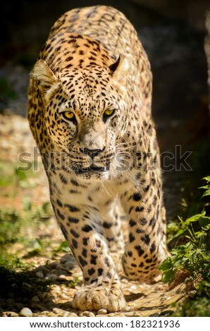 Leopard - Panthera pardus walking toward the camera. Big cat is walking on a path in nature or in a ZOO with yellow eyes. - stock photo
