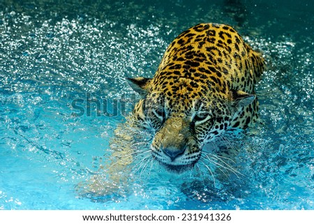Leopard playing. - stock photo