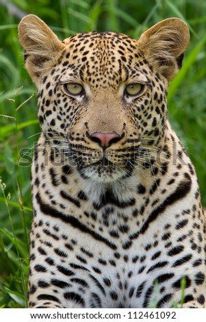 Leopard portrait in the grass