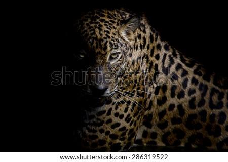 Leopard portrait isolate on black background - stock photo