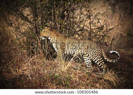 leopard portrait, luangwa national park zambia - stock photo