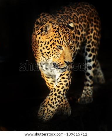 Leopard portrait on a black background - stock photo