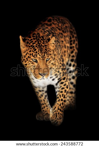 Leopard portrait on black background - stock photo