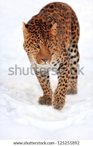 Leopard portrait on snow - stock photo