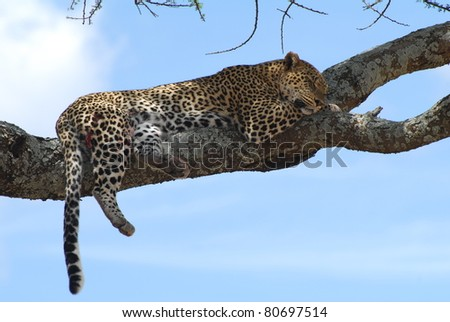 Leopard resting after chase - stock photo