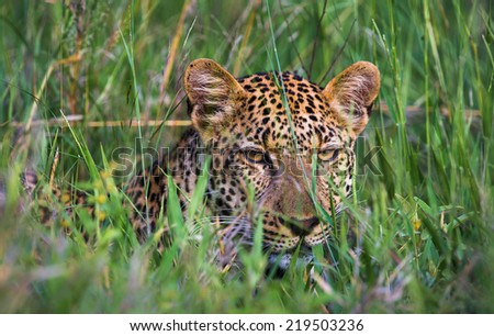 Leopard resting in long green grass. - stock photo