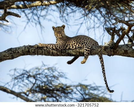 Leopard resting on a branch, Serengeti, Tanzania - stock photo
