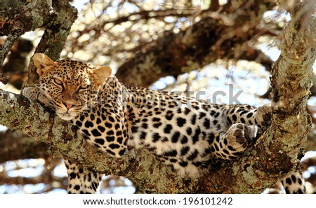 leopard resting on a tree - stock photo