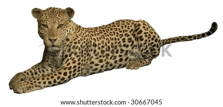 leopard resting peaceful isolated on white