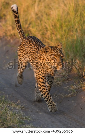 Leopard running along sandy track in grass